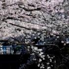 『MILTOL200mmによる2021の桜 2021/03/29』の画像