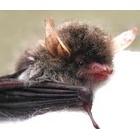 『めずらしいコウモリ』の画像