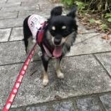 『【拡散希望】迷い犬チワワ探しています!』の画像