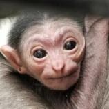 『可愛いシロテテナガザルの赤ちゃん』の画像
