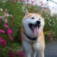コスモス咲く散歩道♪