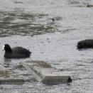 2月16日の鳥さん 夜勤明け、大雨の春木川(国分川)で野鳥の観察・撮影