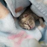 『へその緒がついた子猫ちゃん』の画像
