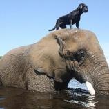『ゾウと友達になった犬たち』の画像