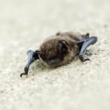 『世界を救うコウモリ』の画像
