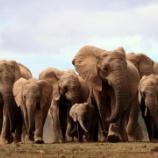 『象牙の消えたゾウたち』の画像
