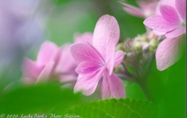 『2020年6月20日:服部緑地都市緑化植物園の紫陽花』の画像