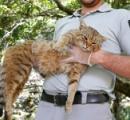 キツネ?ネコ? いいえキツネネコです コルシカ島で「キツネネコ」捕獲