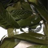 『びわの葉ローション作った。』の画像