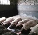 中国で「球電」が発生、爆発し豚170匹が死ぬ