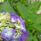 『【写真】 Xperia 5 梅雨の花』の画像