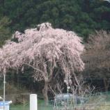 『気になっている桜が…』の画像