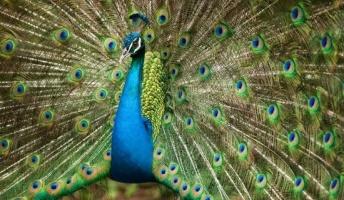 【進化生物学】クジャクの目玉模様、進化の謎を解明