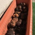『山の芋収穫』の画像