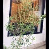 『オリーブの木♪』の画像