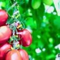 国内初「ゲノム編集食品(トマト)」誕生!「遺伝子組換え」との違いは何?