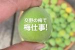 梅仕事シーズンだ!交野産の無農薬な梅で梅シロップを仕込んでみた!〜2021年版梅シロップ〜