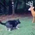 イヌが庭で鹿の人形と戦っていた。お前なんか怖くないぞぉ! → 犬には2種類いるようです…