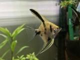 『熱帯魚の中の熱帯魚「エンゼルフィッシュ」を迎え入れる』の画像
