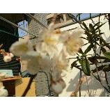 『さくら 咲く』の画像