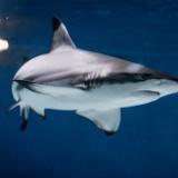 最古のサメ襲撃の犠牲者、その衝撃の画像がこちら・・・