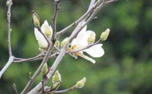 「大いなる季節外れ」の白い花