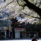 『KAMLAN50mmF1.1による春の風景~桜吹雪 2020/04/17』の画像