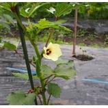 『今年も、オクラの花が綺麗に咲いている。』の画像