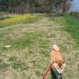 『柴犬と桜』の画像
