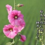 『芙蓉花』の画像
