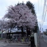 『東大和公園の桜Ⅲ』の画像