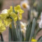 『水仙が、咲き出してきました。』の画像