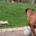 イヌの前を子ブタが走っていた。その様子を犬が見ている → こうなります…
