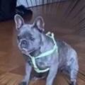 イヌに向かってボールを蹴ろうとする。絶対に止めてみせる! → キーパー犬の動きはこうなります…