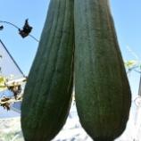 『植菜物語(2100回記念)(26)・ヘチマ考(1)』の画像