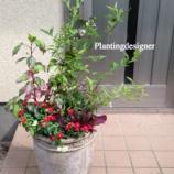 『ブルーベリーとサンブリテニアの寄せ植えで花がない時にこだわるポイント』の画像