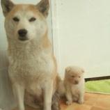 『柴犬の子犬』の画像