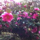 『(番外編)さざんか、さざんか咲いた道』の画像