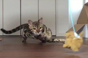 ベンガル猫のかっこいい走りwwwww