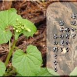 『フォト短歌「ワサビの蕾」』の画像