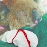 『火傷したコアラのその後』の画像