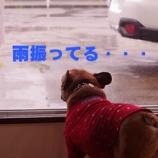 『看板犬アグー雨に負ける!?ジメジメな梅雨も平気にしちゃおう!』の画像