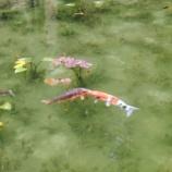 『冬の「モネの池」(岐阜県関市)で熱いキスをする鯉を激写!DAIGOくんと北川景子さんもビックリですね(笑)。』の画像