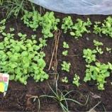 『白菜苗の鉢あげ』の画像