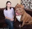 【画像】世界最大の番犬 ピットブル がデカすぎる 17ヶ月でこの大きさ