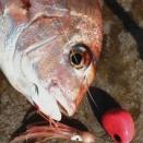 北灘湾自作テンヤ釣行#45 真鯛渋めは月夜のせい?