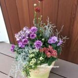 『【YouTube動画】春に向けてのふんわり寄せ植え☆ダブルオステオスペルマムとアルメリア』の画像