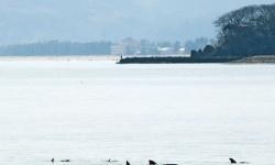 【富山】氷見沖にイルカの群れ イワシ追い能登島から? 富山湾では珍しいミナミバンドウイルカ