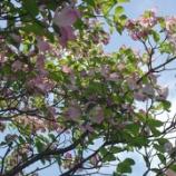 『花水木~ハナミズキ~』の画像