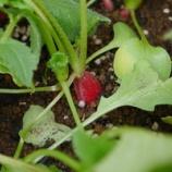 『暖冬の影響?! 季節はずれの四季なりいちごとミニトマト!!』の画像